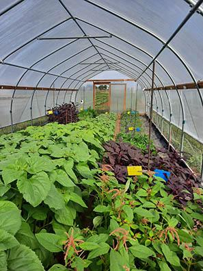 Sunflowers and amaranth grow in a high tunnel.